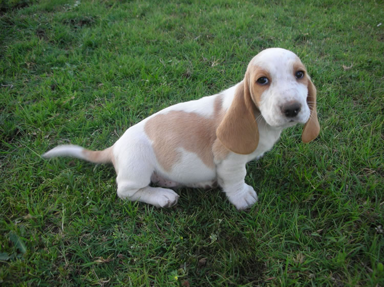 Ds Ranch Basset Hounds Puppies For Sale